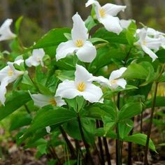 Great White Trillium is a perennial plant that usually blooms in April through June. Perennial Flowering Plants, Flowers Perennials, Phlox Plant, Planting Bulbs, Planting Flowers, Spring Flowers, Wild Flowers, Wholesale Nursery