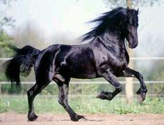 Blk spanish horse