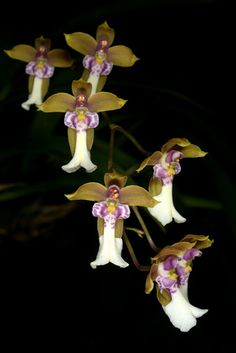 Orchid-Mimicry by Caucaea from Ecuador Mimicking 'The Fairy-Angels Watching-over'