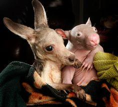 Baby Kangaroo and Wombat