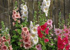Growing Hollyhocks, Hollyhocks Flowers, Pink Bedroom For Girls, Garden Care, My Secret Garden, Outdoor Plants, The Ranch, Garden Inspiration, Garden Ideas