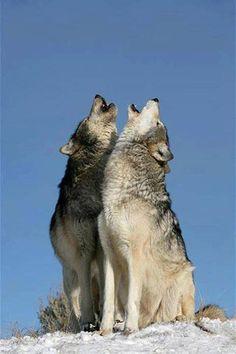 mackenzie valley wolf Mates howling.
