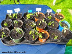 Selber-Macherin: Tomaten selber züchten Teil 2: Richtig pikieren
