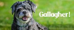 ADOPT Gallagher! The Happiest Little Pop-Eyed Shih Tzu in New York's Capital Region!