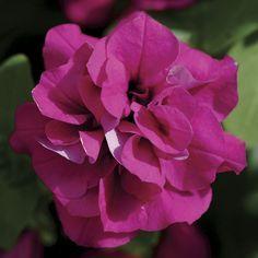 Petunia Double Wave Purple (Petunia Kirimaji Double Purple) at Wayside Gardens