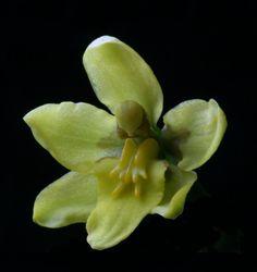 Cyrtochilum ixioides