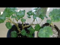 Plant Leaves, Flowers, Youtube, Plants, Gardening, Lawn And Garden, Plant, Royal Icing Flowers, Flower