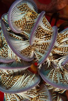 Unidentified feather star- Okinawa