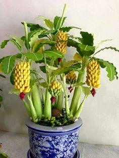 Banana bonsai