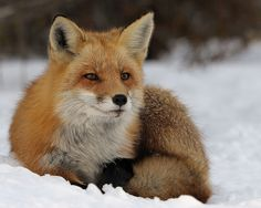 Red Fox by Mark Schwall on Flickr