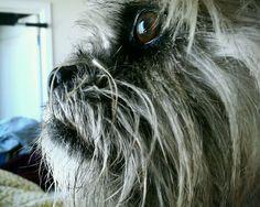 Pugs beard
