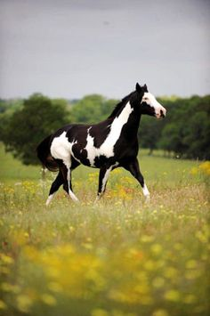 Stunning Wild Black Paint Mustang Stallion. Have a serious case of horse fever. Must move to the country soon!