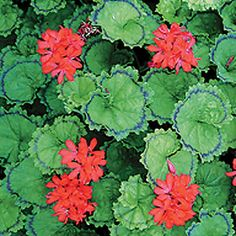 Geranium 'Distinction' - Fancy Leaf Geraniums - The Vernon Geranium Nursery