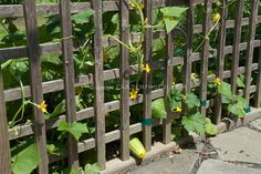Cucumber vegetable plants in garden supported by vertical wooden lattice trellis