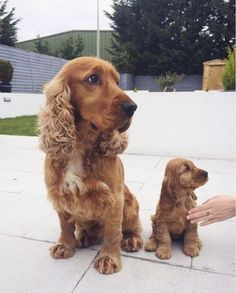 Check out this amazing Cocker Spaniel Dad and his puppy son. Two amazing spaniels that look like a loving family. Cute and small! Perro Cocker Spaniel, Golden Cocker Spaniel, English Cocker Spaniel Puppies, Funny Cats And Dogs, Cute Dogs And Puppies, Doggies, Dogs Tumblr, Cute Baby Animals, Funny Animals