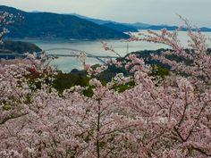 298:「小高い山を車で登ると一面に桜が咲いてます!展望台あり遊歩道あり遊具ありおでん屋さんあり子供連れでもおじいちゃんおばあちゃんが一緒でも車で登れるので楽しめます」@開花山公園
