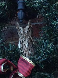 At least we believe it to be an Easter Screech!    He was found in our Christmas wreath hanging on our garage light.    My 9 year old daughter who is a