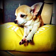Little angel  : #littledog #Chihuahua #cute #little #dog #puppy #suprecute