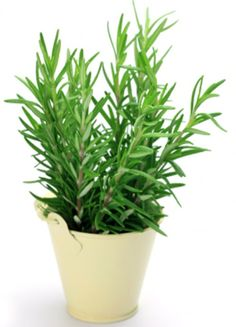 Plantas que Evitam o Mau-Olhado 5