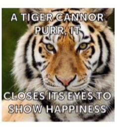 Tigers can't  purr. So they closes their eyes to show happiness.. PetsnanaG