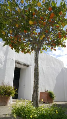 Do you prefer lemons or oranges? Never mind, Just help yourself! REF 314 Ibiza Island, Paradise, Outdoor Structures, Design, Southern Homes, Heaven