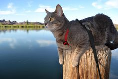Checkin out the #migratorybirds  and watching the humans #fish at the #coloradoriver.... I'm way better at #fishing #adventurecat #tabbycat #picachostatepark #campingwithcats #campingwithdogs #tinyhouse #truckcamper #vanlife #river #imperialcounty #picachowilderness #boating #picachostaterecreationarea #californiastateparks by campurr_kitty