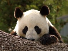 © Amandalee - ALAPhotography- Wang Wang, Adelaide Zoo. Adelaide, South Australia.