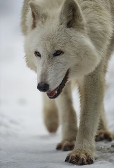 Wolf byDan Newcomb Photography