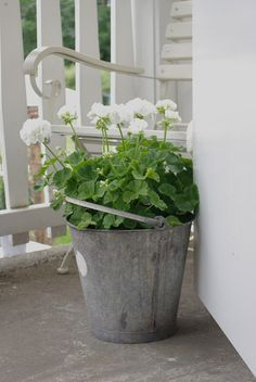 white geraniums in a galvanized bucket.