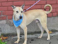 TO BE DESTROYED - 12/03/14 Manhattan Center -P  My name is SIMBA. My Animal ID # is A1021432. I am a male tan germ shepherd mix. The shelter thinks I am about 1 YEAR 7 MONTHS old.  I came in the shelter as a STRAY on 11/22/2014 from NY 11434, owner surrender reason stated was STRAY.