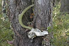 When a tree is growing, and it encounters something that gets in the way of it's growth, it can do three things: stop growing, grow away fro. Deer Skulls, Animal Skulls, Garden Trees, Trees To Plant, Tree Tunnel, Magical Tree, Shed Antlers, One With Nature, Witch Aesthetic
