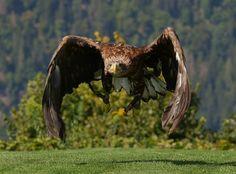 Der Steinadler (Aquila chrysaetos) ist eine große Greifvogelart innerhalb der Familie der Habichtartigen. Sie ernähren sich meist von mittelgroßen, bodenbewohnenden Säugern. Die Art war früher in Europa weit verbreitet, wurde aber systematisch verfolgt, so dass sie heute in vielen Teilen Europas nur noch in Gebirgsgegenden vorkommt. In Kärnten kann man Steinadler bei der Greifvogelschau der Adlerarena hautnah bewundern. #eagle #steinadler #birdsofprey #greifvogelschau #adlerwarte #kärnten Birds Of Prey, Bald Eagle, Animals, Villach, Road Trip Destinations, Animales, Animaux, Animal, Animais