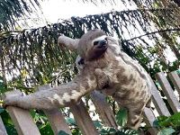 """""""O GRITO DO BICHO"""": Bicho-preguiça com filhote é flagrado próximo a re..."""