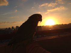 Sunset com Loro - Papagaio #parrot #nature