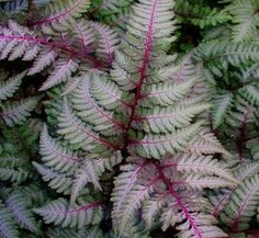 The Japanese Painted Fern or Athyrium Nipponicum is one of the most beautiful yet easy to grow ferns. Buy hardy ferns at our London nursery or shop online. Japanese Fern, Japanese Painted Fern, Shade Garden, Garden Plants, House Plants, Herbaceous Perennials, Shade Perennials, Perennial Plant, Red Plants