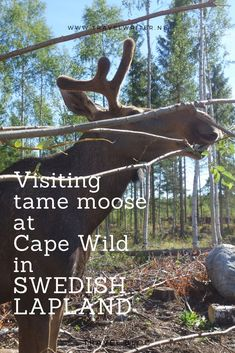 Cape Wild in Swedish Lapland: visiting the tame moose Zigge and Zebbe - Adventure on the road - Cape Wild in Swedish Lapland: visiting the tame moose Zigge and Zebbe – travelwriter. Europe Destinations, Europe Travel Tips, Travel Guide, Alaska, Sweden Travel, Stockholm Sweden, Ultimate Travel, Solo Travel, Where To Go