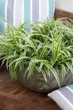 Chlorophytum, air so pure. Indoor Cactus, Indoor Plants, Indoor Water Garden, Chlorophytum, Jade Plants, House Plants Decor, Plants Are Friends, Spider Plants, Snake Plant
