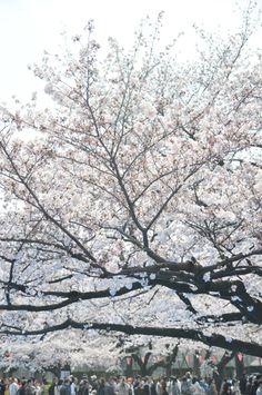 Cherry Blossoms / 桜    http://www.siragazome.jp/somegatari/13/index.html