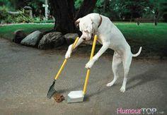 Incroyable un grand chien blanc qui ramasse sa crotte avec une pelle et un râteau