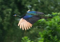 Burmese+Green+Peacock | Green Peafowl Pavo muticus imperator - Male in flight