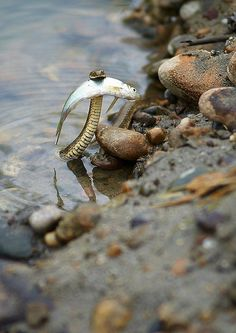 A brave snake saving a fish from drowning. - Imgur
