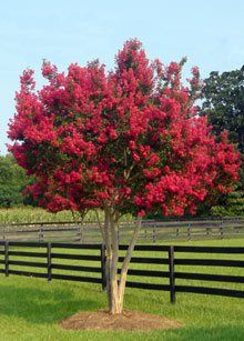 'Tonto' semi-dwarf Crepe Myrtle.  Red flowers and maroon foliage. Grows 10 to 12 feet tall and wide. Attractive bark.