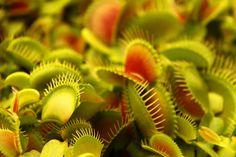 식충식물의 대명사 파리지옥