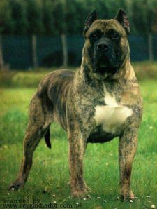Presa Canario Males of D&G Kennels
