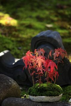 Japanese maple bonsai, fall colors whenever you want by tricking it with a cold refrigerator frost over night. : )