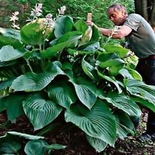 hosta Empress Wu (giant) ~ 2 year plant SHIPPING SPRING