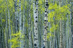 Spring Foliage on Trembling Aspen - Wall Mural & Photo Wallpaper ...