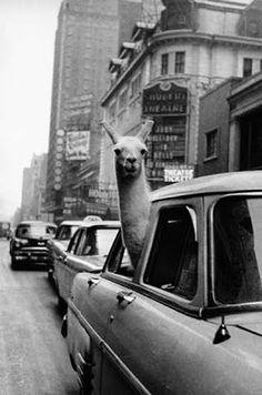 A Llama in Times Square, 1957, Inge Morath