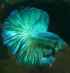 Turquoise betta Fish