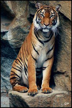 My favorite big animal I love love love tigers.